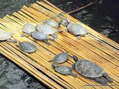 Schildkröten Mainau